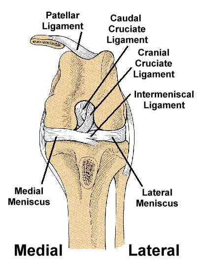 Cranial Cruciate Ligament Anatomy