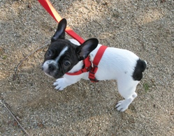 French Bulldog on Leash