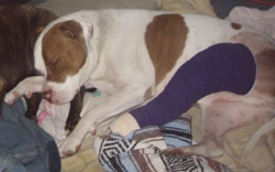 My Dog, Tucker, 1 Day Postop Traditional Repair with His Purple Robert Jones Bandage