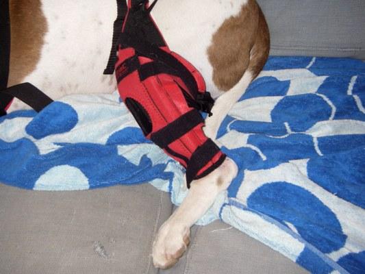 chihuahua knee brace