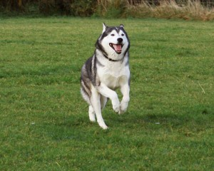Dog Knee Surgery for Huskies