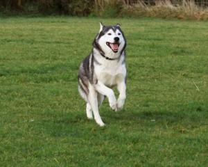 Dog Knee Surgery for Huskies