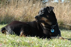 Canine Stem Cell Therapy