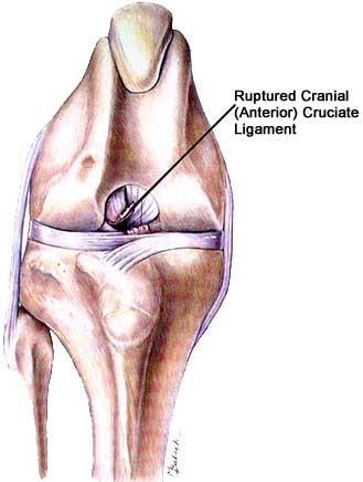 Cruciate Ligament Injury In Dogs