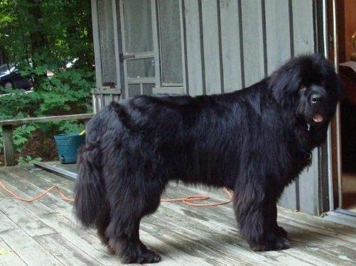 ACL Tear Newfoundland Dog