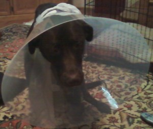 Dog Tightrope ACL Surgery