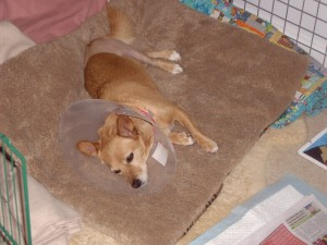 Small Dog ACL Surgery