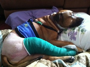 Dog Ligament Tightrope Surgery