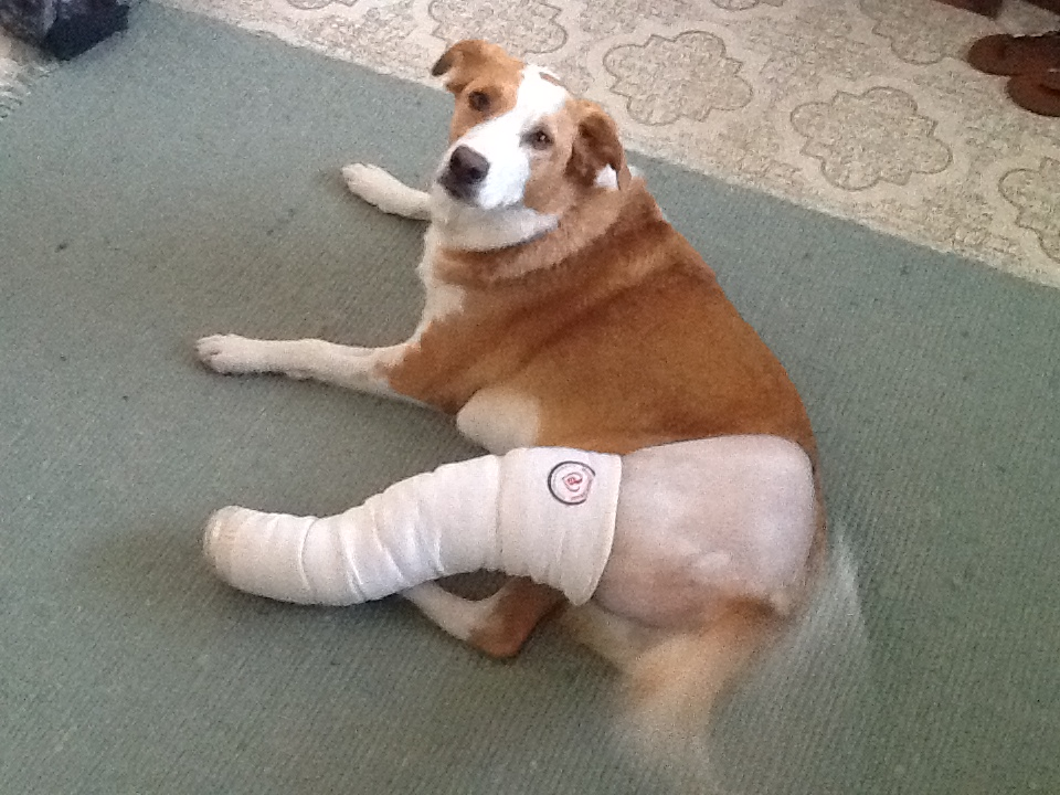 Weeks After Tightrope Surgery On Dog