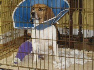 Dog Cruciate Ligament Injuries