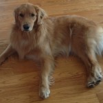 Goldens and Knee Ligament Injury