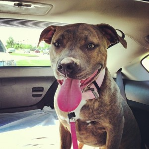 Pit Bulls and Knee Injuries