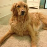 Molly the Golden Retriever - CCL Injury with TPLO Surgery
