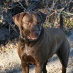 Roxie - TPLO Surgery
