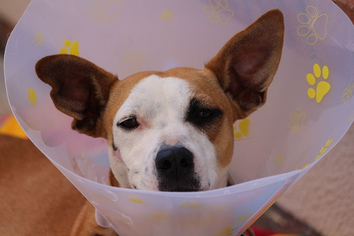 A dog in a cone for post operative recovery.