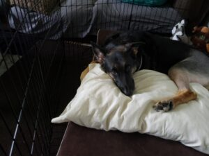 Chino, a German Sheppard, recovering after tearing her CCL leading to TTA surgery