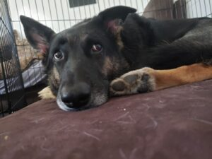 Chino, a German Sheppard, recovering from TTA surgery after injuring her CCL