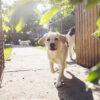 Walking A Dog After Dog Knee Surgery