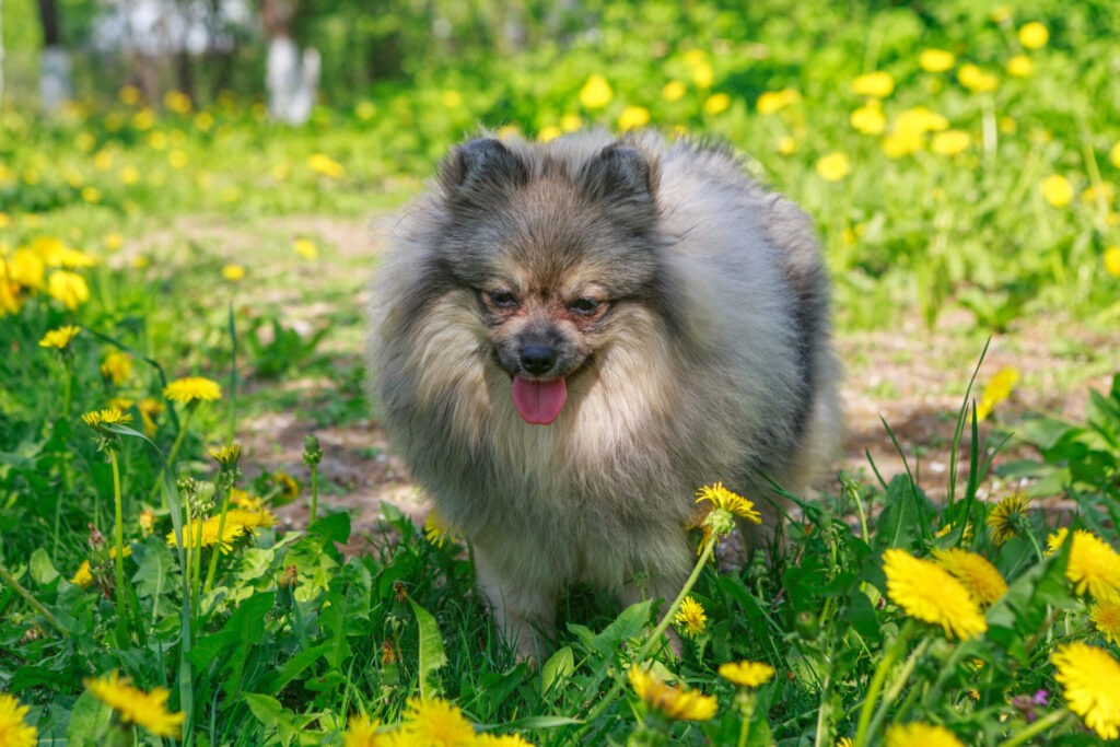Small Dogs Almost Unanimously Experience Faster Recovery Time